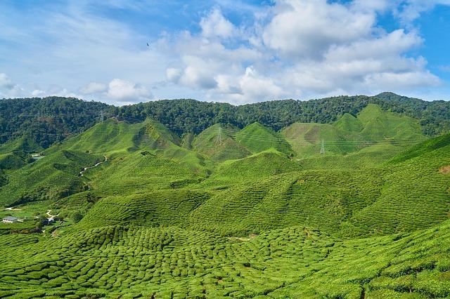 Green Tea Matcha Plantation